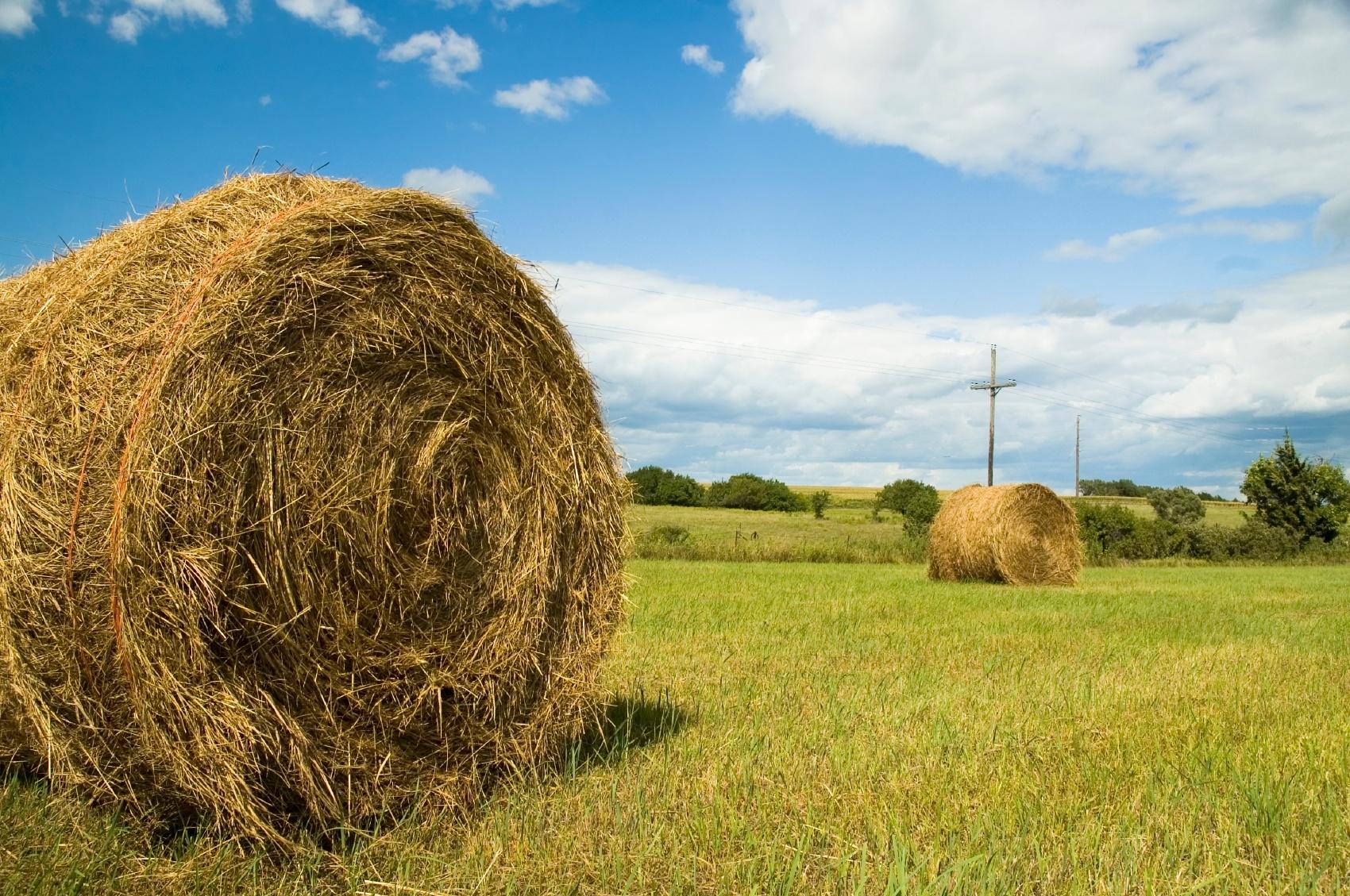 hay in field.jpg